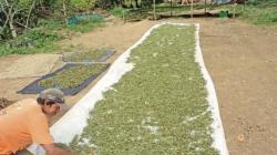 Fábrica de stevia más grande del mundo iniciará operaciones en Piura