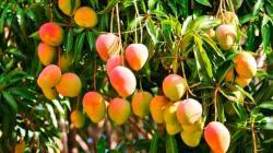 Falta de lluvias y bajo volumen de agua en reservorios afectarían cultivos como el mango