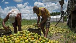 FAO: precios mundiales de los alimentos caen con fuerza en marzo