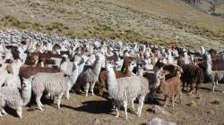 Fondo AgroPerú aprobó programa para financiamiento directo de cadenas ganaderas
