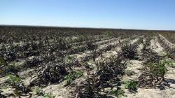 Frío daña cultivos de papa y maíz en el centro y sur del país