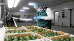Frutos frescos arequipeños conquistaron 24 mercados internacionales