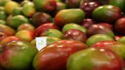 Fundo Los Paltos incorporará Hazel™ for Mango en la próxima campaña de exportación