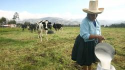 Ganaderos de Cajamarca, Cusco y Puno aumentan en 40% producción lechera