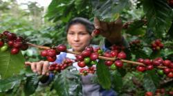 Hoy se inicia el primer programa de televisión digital dedicado al café peruano