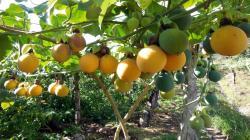 Huánuco apuesta por el cultivo de la granadilla para impulsar su agricultura