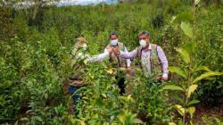 Huánuco: proyecto té verde reiniciará actividades en 15 comunidades de Leoncio Prado en beneficio de 7 mil familias