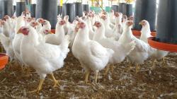 Importación de pollo cae por mayor producción local