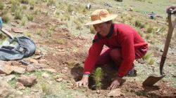 Impulsarán reforestación en Puno con especies forestales