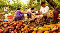 INIA buscará obtener una nueva semilla de cacao inmune al cadmio