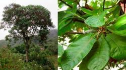 INIA desarrolla 6 mil nuevos plantones de árbol de la quina en Cajamarca