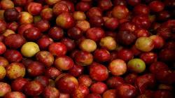 INIA desarrolla nueva variedad de camu camu con alta dosis de vitamina C y calidad genética