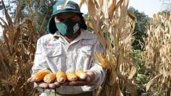 INIA desarrolla nuevo material genético para potenciar calidad del maíz amarillo duro
