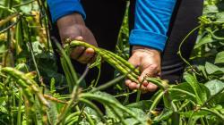 INIA desarrolló más de 30 variedades de legumbres con alta calidad genética