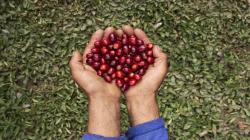 INIA garantiza producción de más de 1.500 toneladas de semillas de alta calidad genética