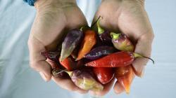 INIA identifica 30 variedades de ajíes para gastronomía y agroindustria