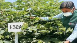 INIA impulsa programa de mejoramiento genético del algodón Pima