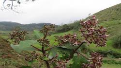 INIA investiga potencialidad del genoma nuclear del árbol de la quina