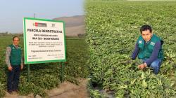 INIA lanzará nueva variedad de camote que produce hasta 60 toneladas por hectárea