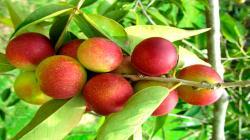 INIA liberaría dos variedades de camu camu este año