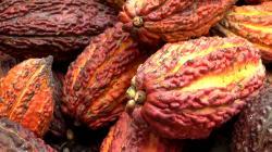 INIA potencia calidad del cacao peruano para mercados internacionales