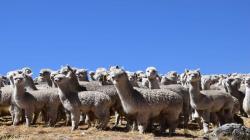 INIA realiza tratamiento de enfermedades parasitarias de alpacas en el distrito de Vinchos