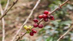 INIA trabaja en la generación de nuevas variedades de café con alto valor genético y tolerantes a la roya amarilla