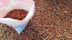 Investigadores de la PUCP extraen aceite nutracéutico y elaboran resina biodegradable a partir de semillas de lúcuma