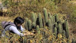 Investigadores de la UNMSM buscan preservar cactáceas peruanas en peligro de extinción