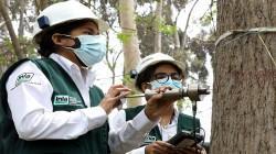 Investigadores del INIA y la UNALM buscan mejorar la productividad y el uso sostenible de plantaciones forestales en la amazonia peruana