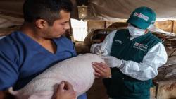Investigadores peruanos desarrollarán vacuna contra la influenza A para cerdos y aves