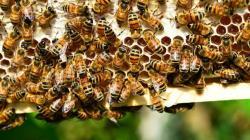 Investigadores peruanos logran tecnología para criar abejas sin aguijón