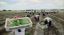 """IPEH: """"Empresas están analizando la posibilidad de mecanizar cosecha del espárrago"""""""