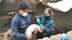 La Libertad: campaña de vacunación 2021 contra Peste porcina proyecta alcanzar a más de 216 mil cerdos