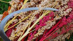 La Libertad: pequeños productores de Sartibamba exportan 40 toneladas de quinua orgánica a Francia y Bélgica