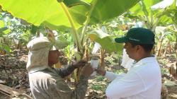 Lambayeque: implementan controladores biológicos en 36 hectáreas de banano