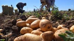 Lluvias en el sur y centro afectarían cultivo de la papa