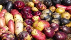 Lluvias en sierra sur y altiplano son favorables para producción de papa y maíz