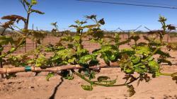 LOS ERIÓFIDOS: PRESENTE EN LAS NUEVAS VARIEDADES DE UVA DE MESA