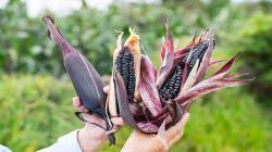 Maíz morado INIA 601 posee mayores propiedades de antioxidantes