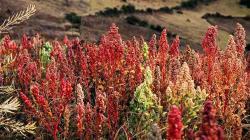 Mañana inicia el seminario virtual sobre granos andinos
