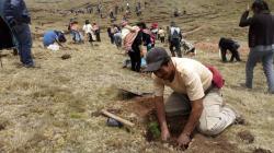 Más de 1 millón de plantones forestales serán instalados en cuencas altoandinas