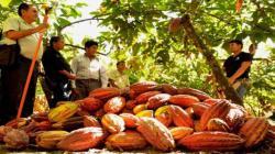 Más de 20 asociaciones de pequeños y medianos cacaoteros participarán en rueda virtual de negocios del Salón del Cacao y Chocolate 2020