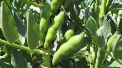 Más de 25 mil familias de agricultores en nuestro país generan sus ingresos con el cultivo de habas