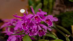 Más de 300 especies de orquídeas se encuentran amenazadas en el país