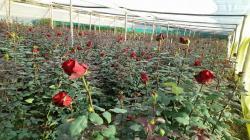Más de 7 mil pequeños productores se dedican al cultivo de flores de corte y plantas ornamentales en Perú