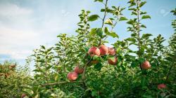 Mejoran producción de manzana en Huaral con guano de las islas