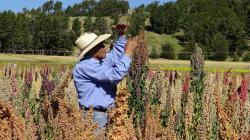 Mercado chino crea mucha expectativa para la quinua peruana