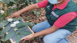 Midagri incorpora germoplasma de café etiopiano de alta calidad genética