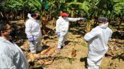 Midagri otorgará seguro a productores para proteger cultivos de la plaga que ataca el banano
